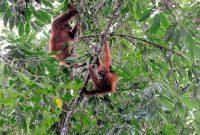 Visite de Bukit Lawang Le sanctuaire des orangs-outans