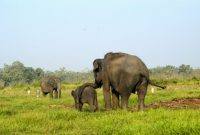 Visiting Way Kambas National Park, Habitat of the Sumatran Elephants