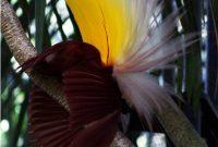 Cendrawasih Bay National Park, cendrawasih, Bird of Heaven 2