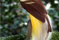 Cendrawasih Bay National Park, cendrawasih, Bird of Heaven