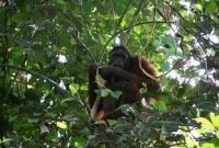 Mount Palung National Park, The Habitat of the Orangutan 1