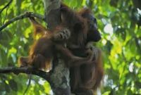 Mount Palung National Park, The Habitat of the Orangutan 2