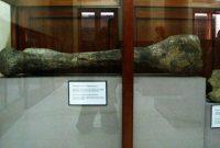 Sangiran huge femur fossil