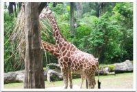 Taman Safari Giraffe