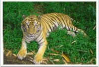 Taman Safari Sumatran Tiger 2