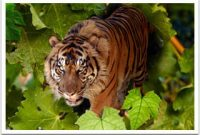Taman Safari Sumatran Tiger