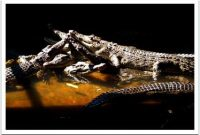 Besuch des Teritip Crocodile Breeding Center