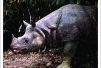 Ujung Kulon Rinoceros 2